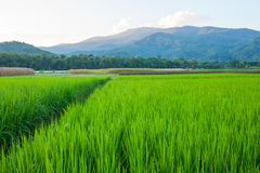 Rice field green grass blue sky cloud cloudy and Mountain landsc Stock Images