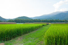 Rice field green grass blue sky cloud cloudy and Mountain landsc Royalty Free Stock Photography