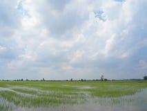 Rice field green grass blue sky landscape.  stock photo