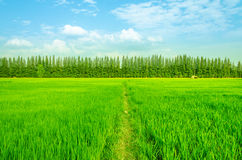 Rice field green grass blue sky landscape Stock Images