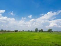 Rice field green grass blue sky landscape. Bangkok thailand stock photos