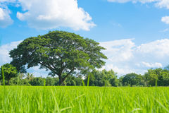 Rice field green grass blue sky landscape Royalty Free Stock Images