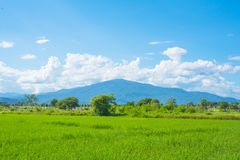 Rice field green grass blue sky landscape Stock Image
