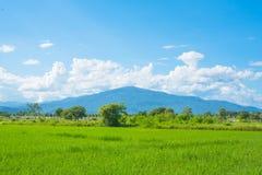 Rice field green grass blue sky landscape Royalty Free Stock Photos