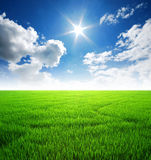 Rice field green grass blue sky sunlight Royalty Free Stock Images