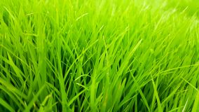 Rice field green grass and dew in the morning time and fresh air background, textures and wallpaper. Rice field green grass and dew in the morning and light time royalty free stock photos