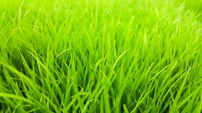 Rice field green grass and dew in the morning time and fresh air background, textures and wallpaper. Rice field green grass and dew in the morning and light time stock image