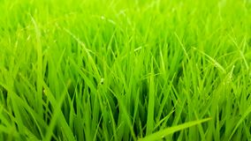Rice field green grass and dew in the morning time and fresh air background, textures and wallpaper. Rice field green grass and dew in the morning and light time stock photos