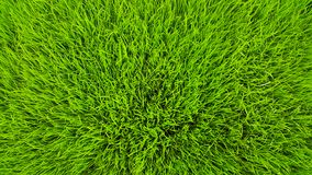 Rice field green grass and dew in the morning time and fresh air background, textures and wallpaper in the top view. Of focus stock photography