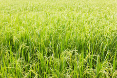 Rice field green grass. Rice  field green grass for food Royalty Free Stock Image