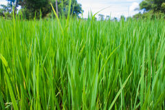 Rice field green grass landscape Stock Photography