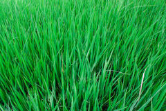 Rice field green grass landscape background Stock Image