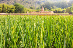 Rice field green grass landscape background in country Royalty Free Stock Images