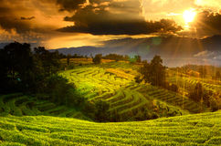 Rice field green grass Royalty Free Stock Image