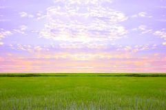 Rice field green grass sky cloud cloudy landscape background. Stock Images