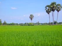 Rice field green grass Royalty Free Stock Photo