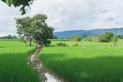 Rice field green grass under the blue sky cloudy with tree lands. Cape background Stock Photography
