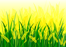 Rice field. And green grass vector background vector illustration