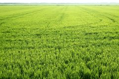 Rice field green meadow in Spain Royalty Free Stock Photos