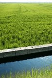Rice field green meadow in Spain ditch Royalty Free Stock Photos