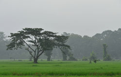 The rice Field. The green rice field in the morning Royalty Free Stock Photography