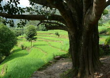 Rice field. Green rice field in Nepal Royalty Free Stock Images