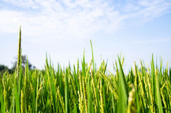 Rice field. Green rice plant with blue sky Royalty Free Stock Photos