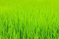 Rice Field. Green Rice Field in Rainy Season, Thailand Stock Photography