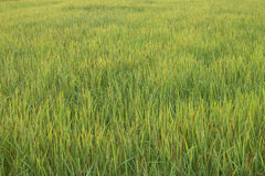 Rice field. Green rice field in Thailand Royalty Free Stock Photos
