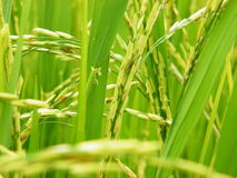 Rice field. Green rice field at thailand stock image