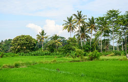 Rice field with green trees in Bali island, Indonesia.  Royalty Free Stock Photo