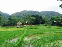 Rice field. Green rice field in the village, rice planting stock photo