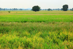 Rice field green & yellow Stock Images