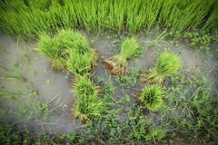 Rice on field Stock Images
