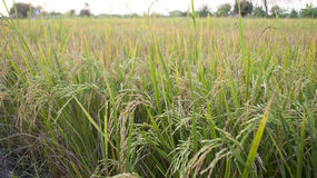 Rice field. The growning rice is on the field in thailand Royalty Free Stock Photo