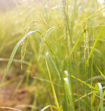 Rice field. Growth paddy rice in rice fields at countryside, Thailand Royalty Free Stock Images