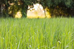 Rice field. Growth paddy rice in rice fields at countryside, Thailand Royalty Free Stock Photography