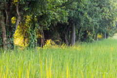 Rice field. Growth paddy rice in rice fields at countryside, Thailand Royalty Free Stock Photo