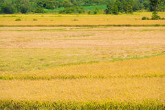 Rice field half harvested Stock Images