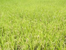 Rice field before harvest Royalty Free Stock Images