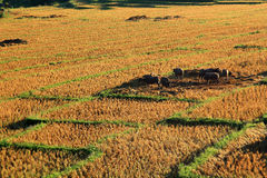 Rice field after harvest Stock Images