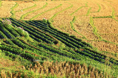 Rice field after harvest Royalty Free Stock Photos