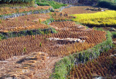 Rice field after harvest in Fujian Stock Photography