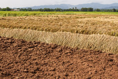 Rice field in harvest Stock Photography