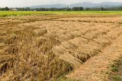 Rice field  in harvest Stock Photo