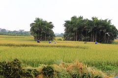 Rice field in the harvest season stock images