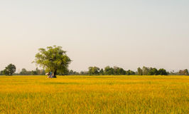 Rice field before harvest in Thailand Stock Photography