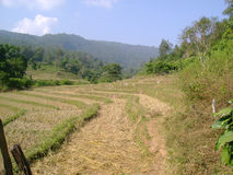 Rice field harvest. Rice field in Thailand after harvest Royalty Free Stock Photography