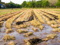 Rice field after Harvested. Pic of rice field after Harvested Stock Photos