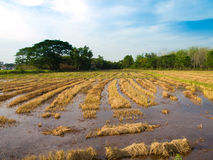 Rice field after Harvested. Pic of rice field after Harvested Stock Photo